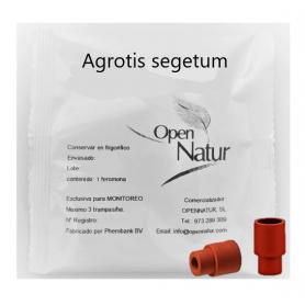 Agrotis segetum